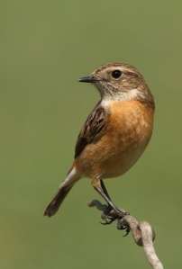 Saxicola torquatus common stonechat female perched on a branch