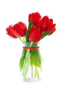 Fresh red tulips